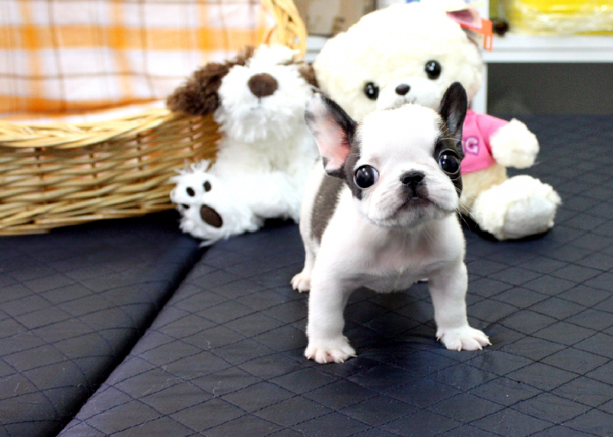 www mydreampup com a secure place to buy your teacup puppies
