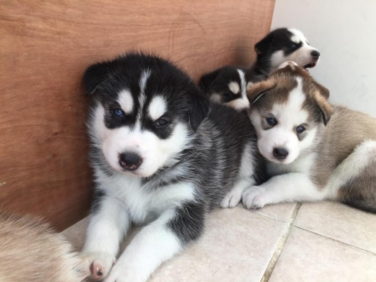Siberian Husky Puppies For Sale Pets For Sale Illinois Free