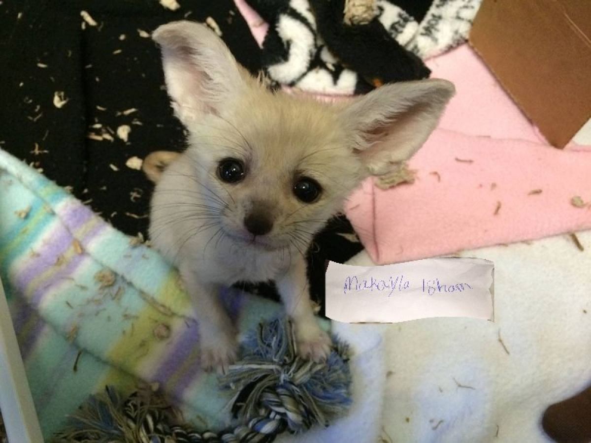 Fennec Fox For Sale Exotic Pets Montana Free Classified Site In