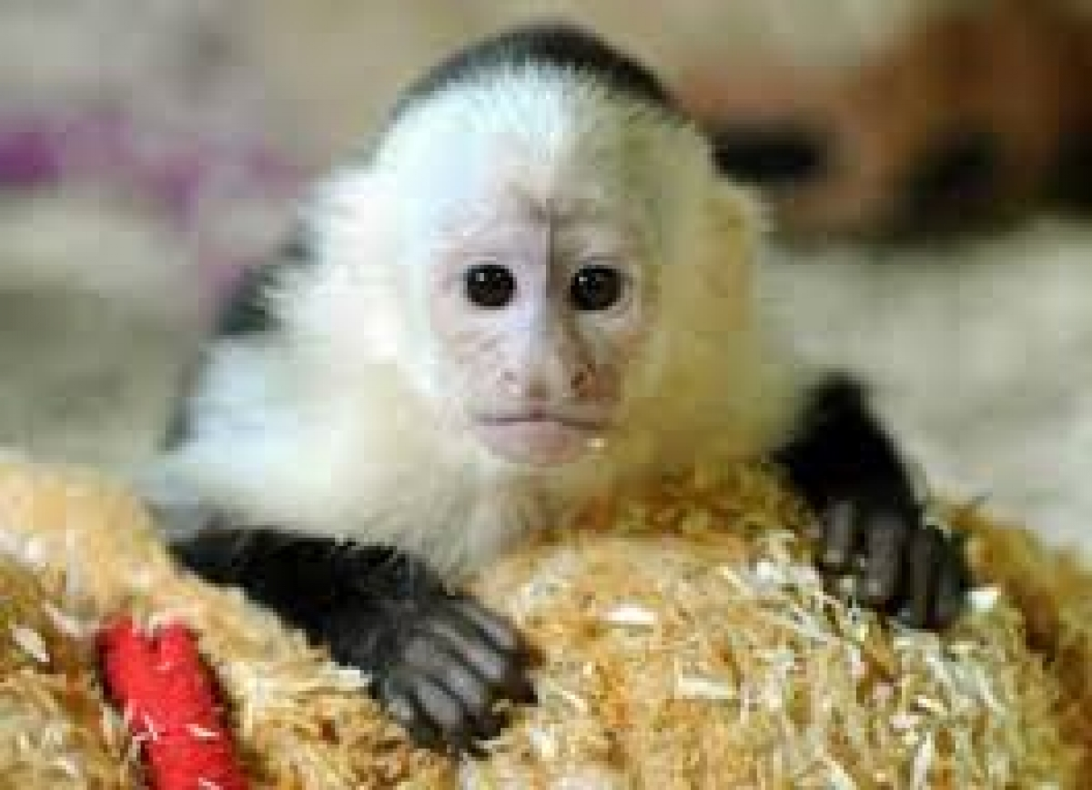 Finger Marmosets,Capuchin Monkeys Available - Exotic Pets
