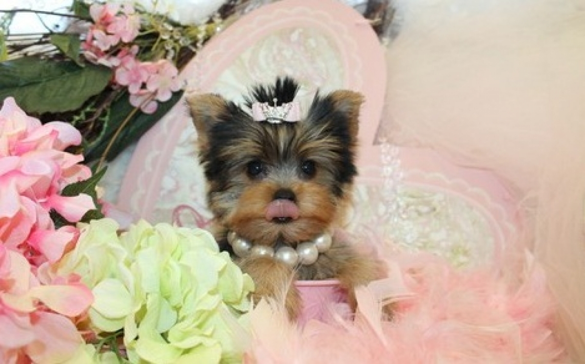 Adorable Female TeaCup Yorkie Puppy Available.Text 504-814 ...