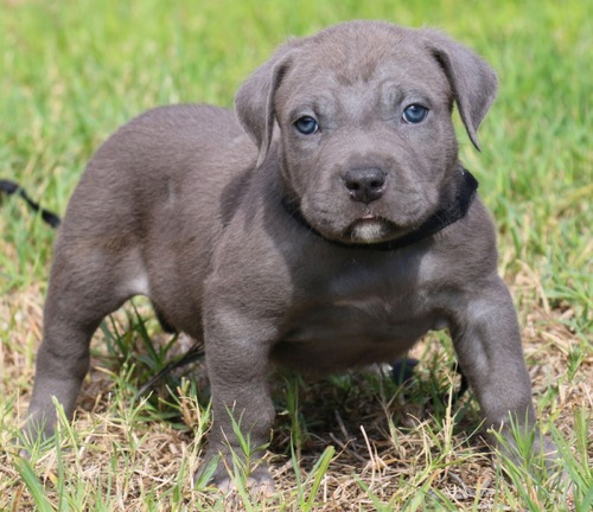 american bully puppies for sale - HD 1200×1037