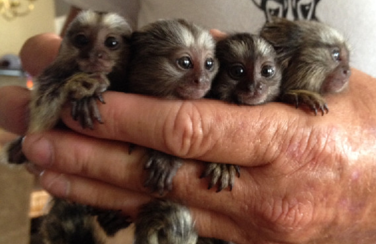 Squirrel, Marmoset and Capuchin Monkeys For Sale - Text ...