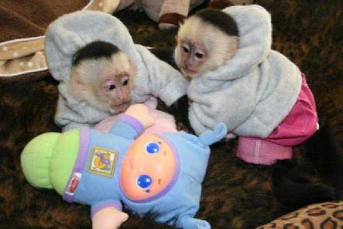 capuchin amp marmoset monkeys for sale at 856 8871560