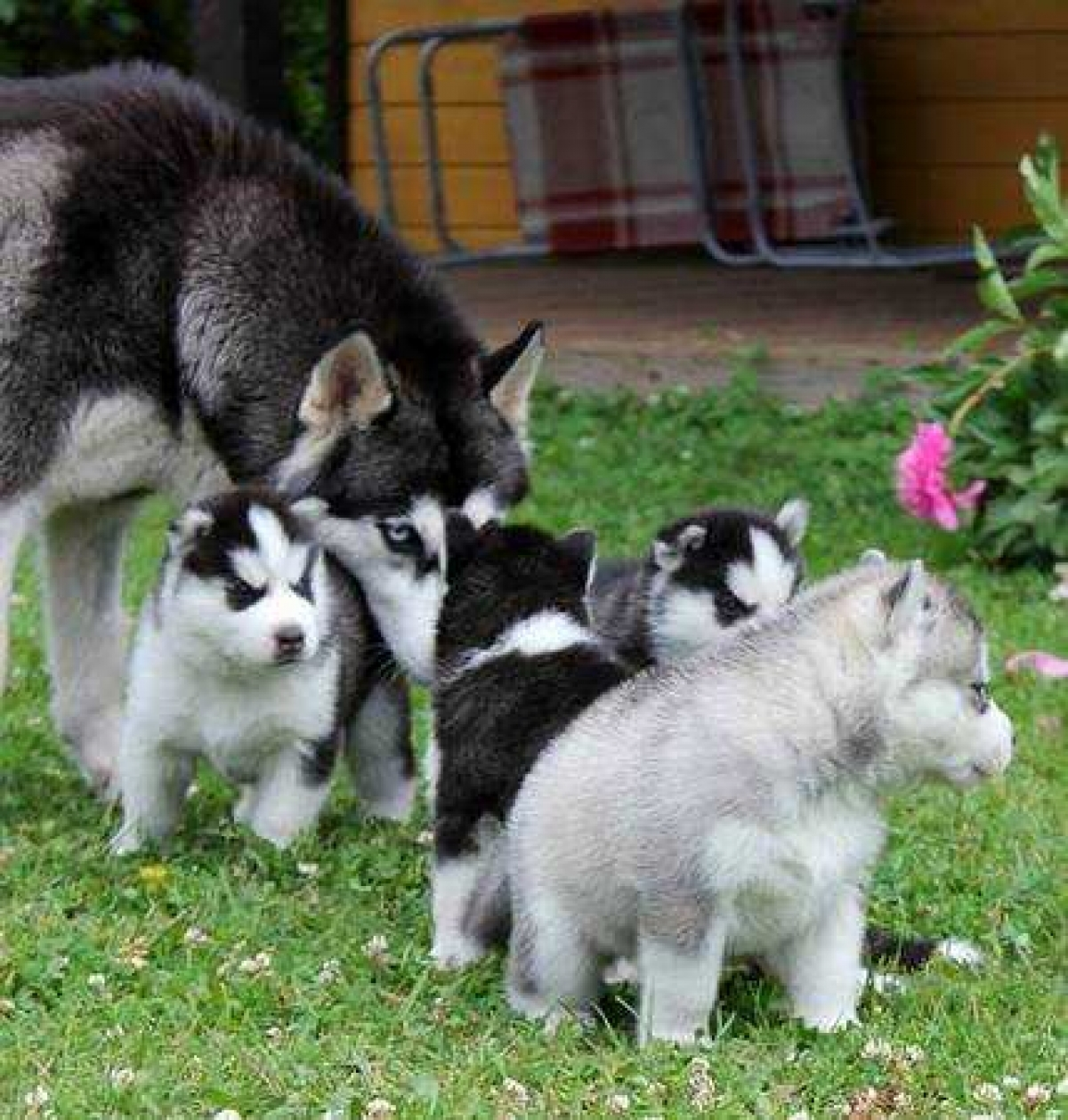 Husky puppies for adoption in california - Female And Male Siberian Husky Puppies For Adoption
