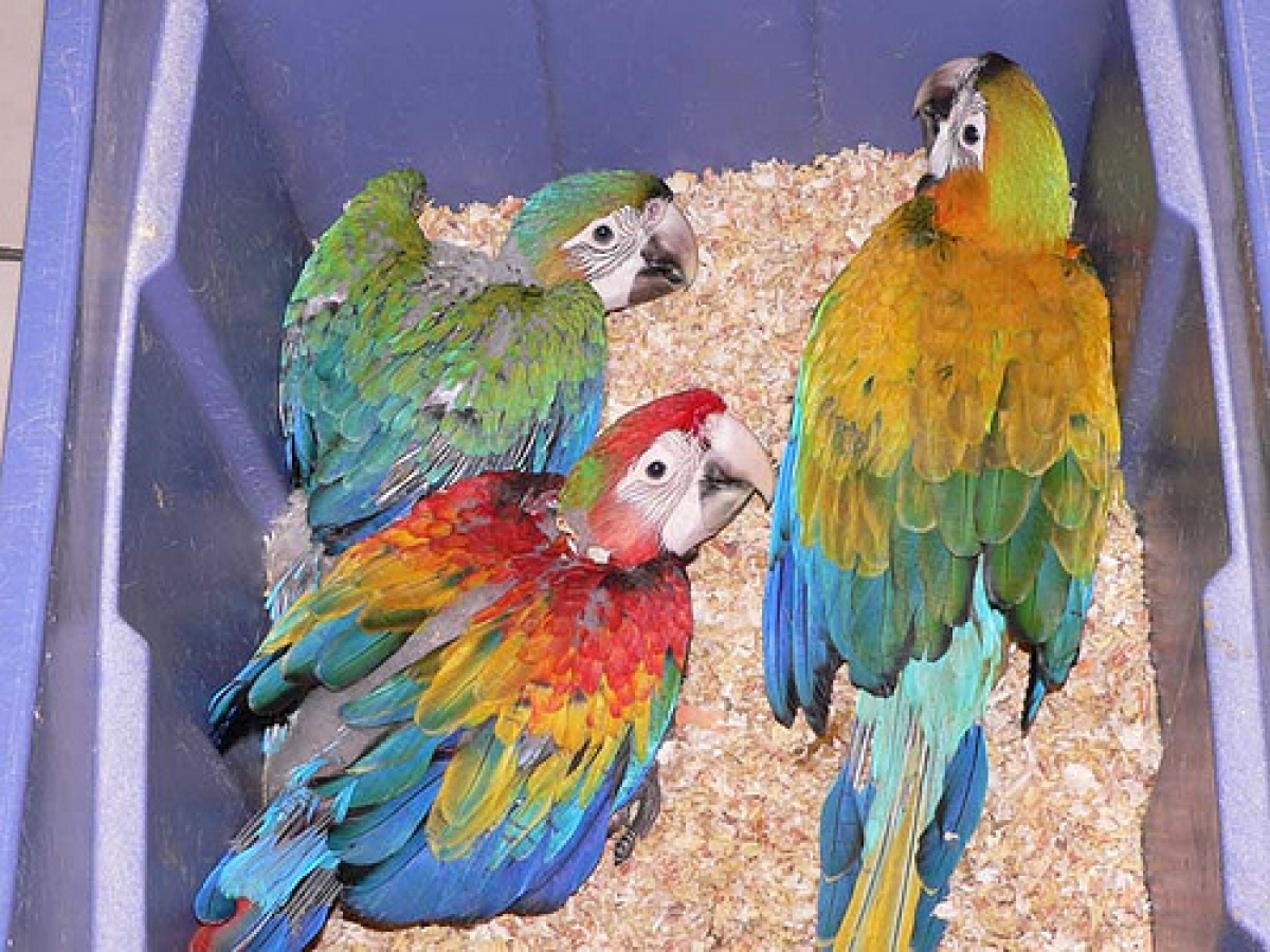 Talking pair of Scarlet Macaw parrots available for new