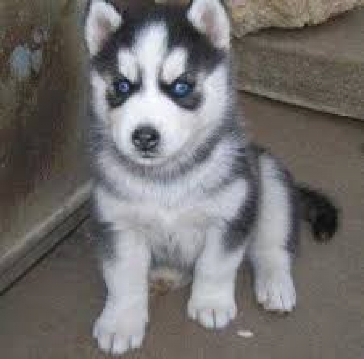 Husky puppies for adoption in california - Healthy Lovely Siberian Husky Puppies