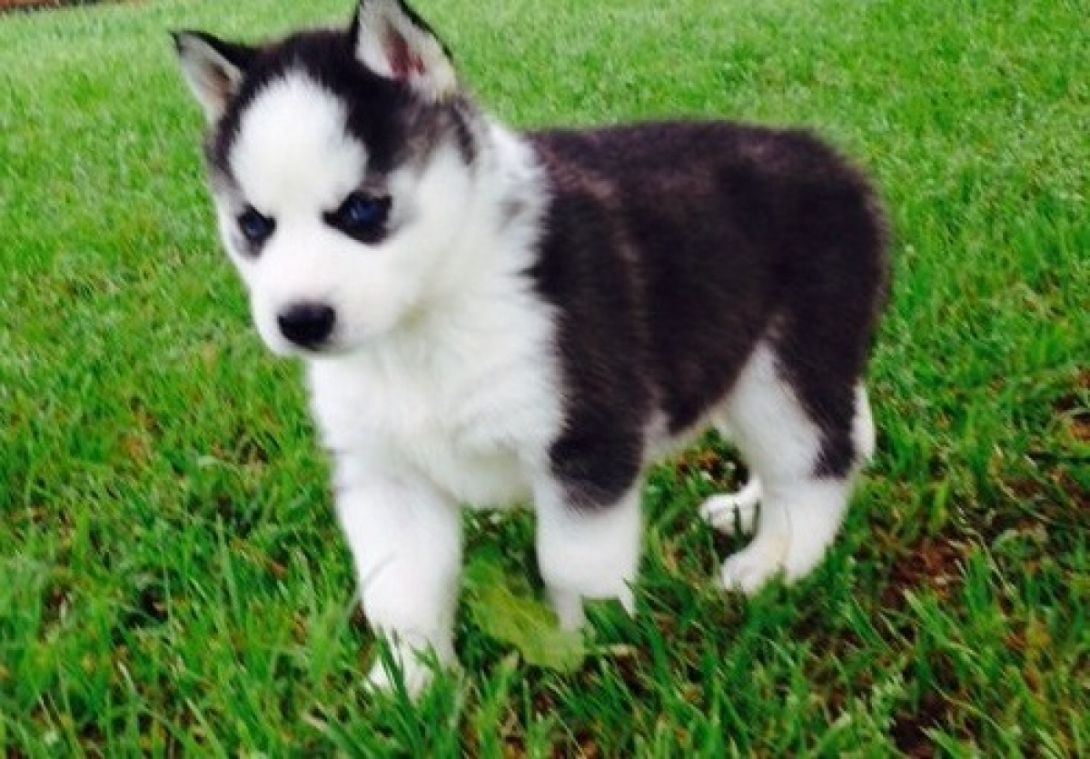 Akc Purebred Siberian Husky Puppies All Are Black White Dogs