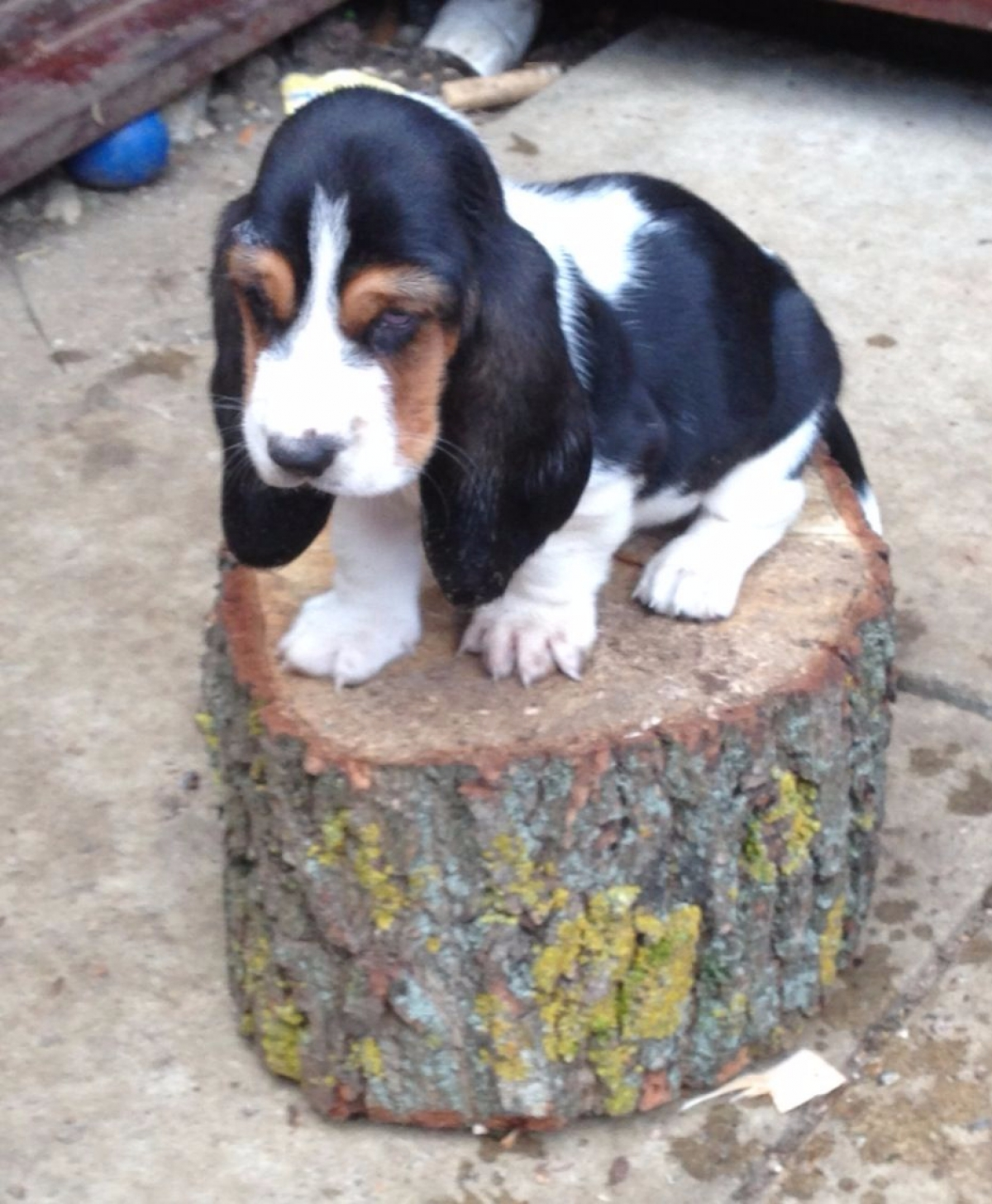 Very Cute Basset Hound Puppies For Sale Dogs Puppies California