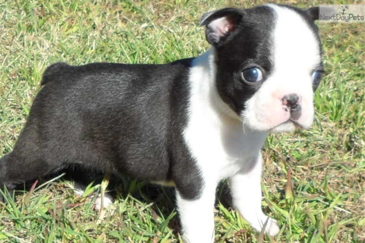Devoted Malefemale Boston Terrier Puppies For Sale Dogs Puppies