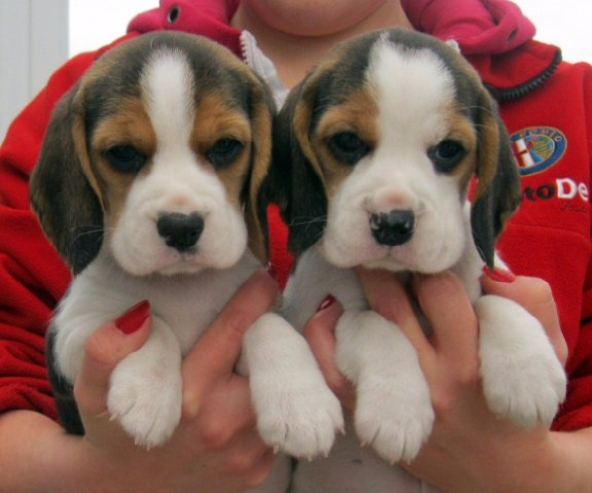 Male And Female Beagle Puppies For Sale Dogs Puppies Hawaii