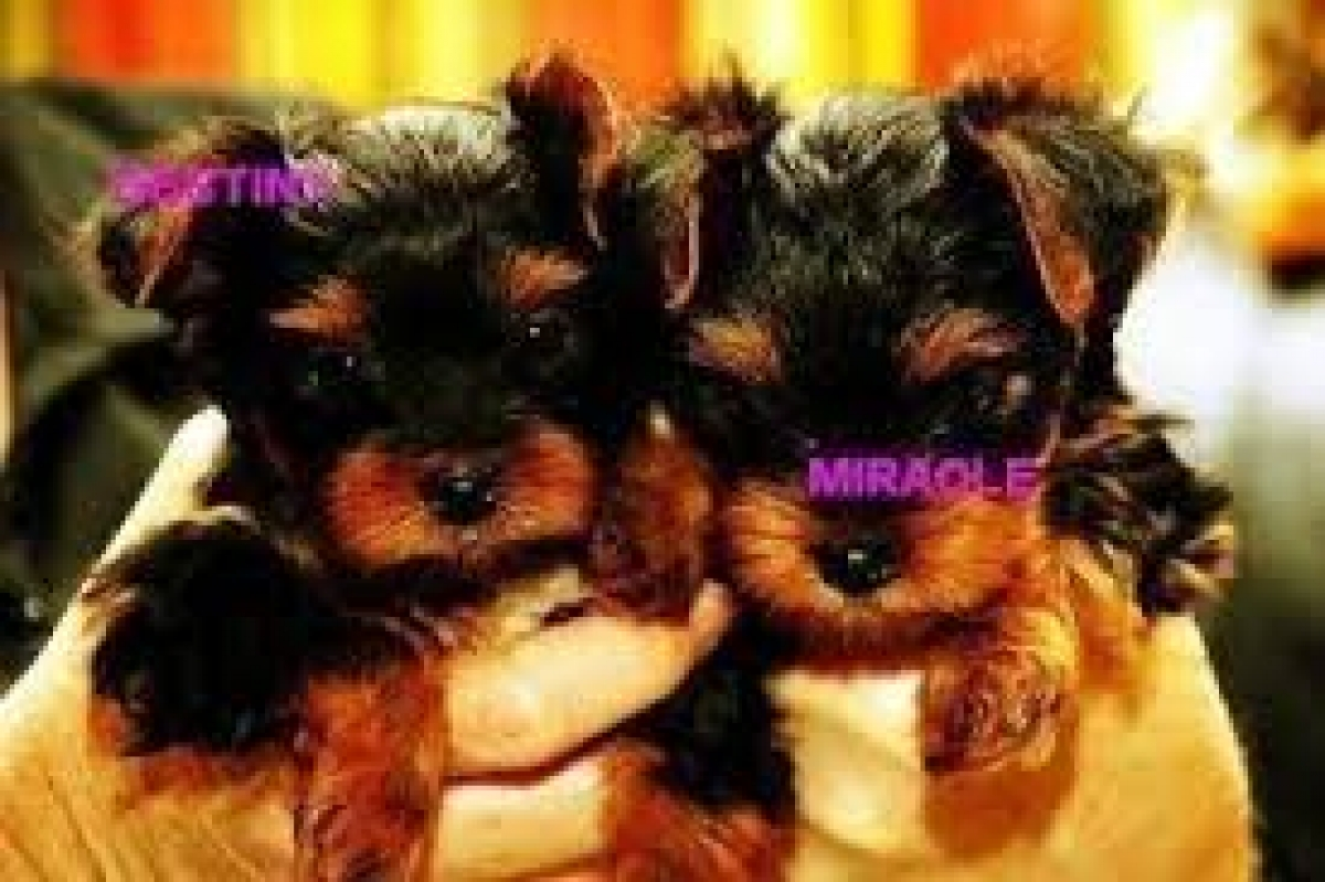 Cute And Adorable Teacup Yorkie Puppies Available For Free Adoption