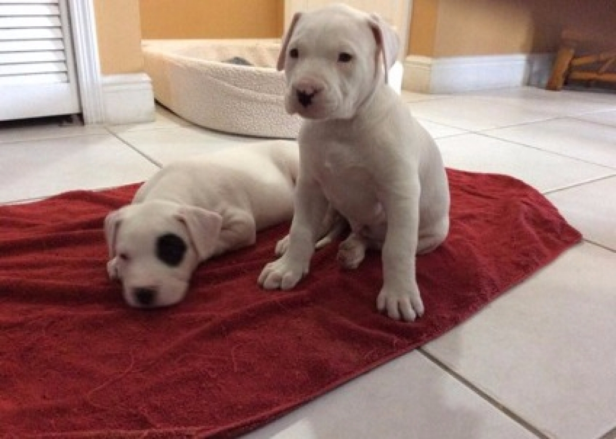 Beautiful Dogo Argentino puppies For Sale - Dogs & Puppies