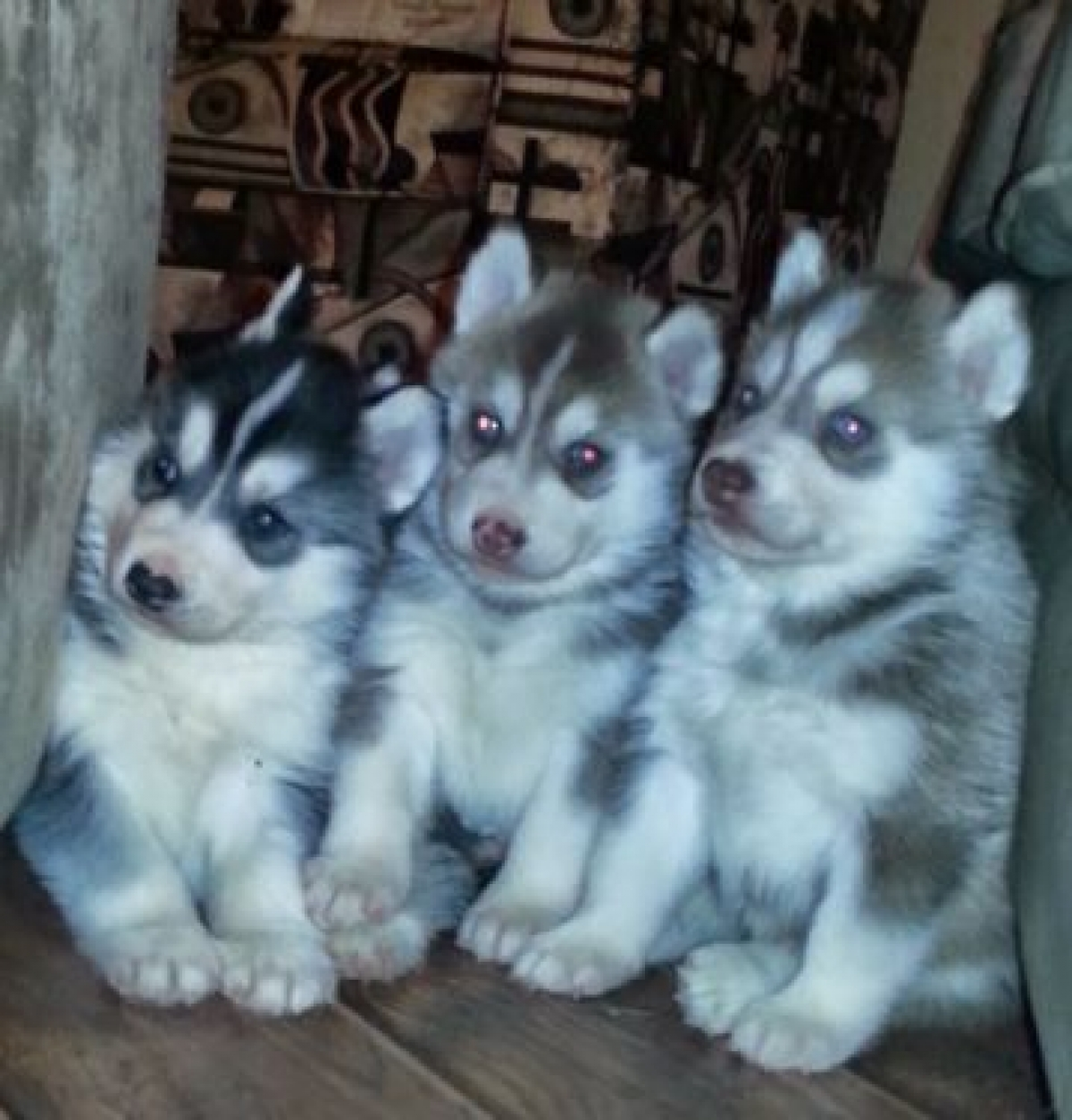 Husky puppies for adoption in california - Husky Puppies For Sale In Greensboro Nc Bellete Siberian Husky Puppies For Sale