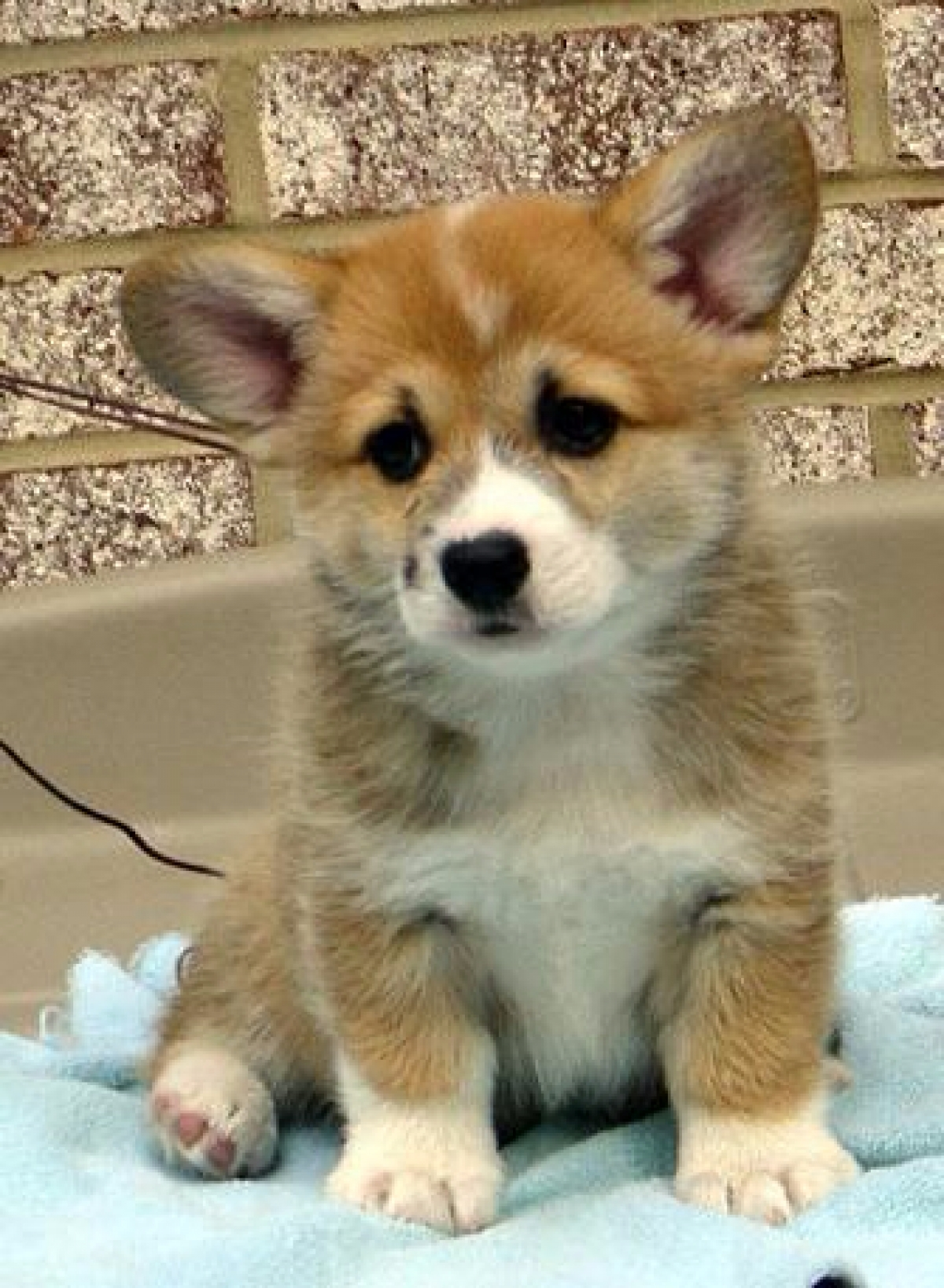 Healthy, Pembroke Welsh Corgi Puppies out for Sale - Dogs