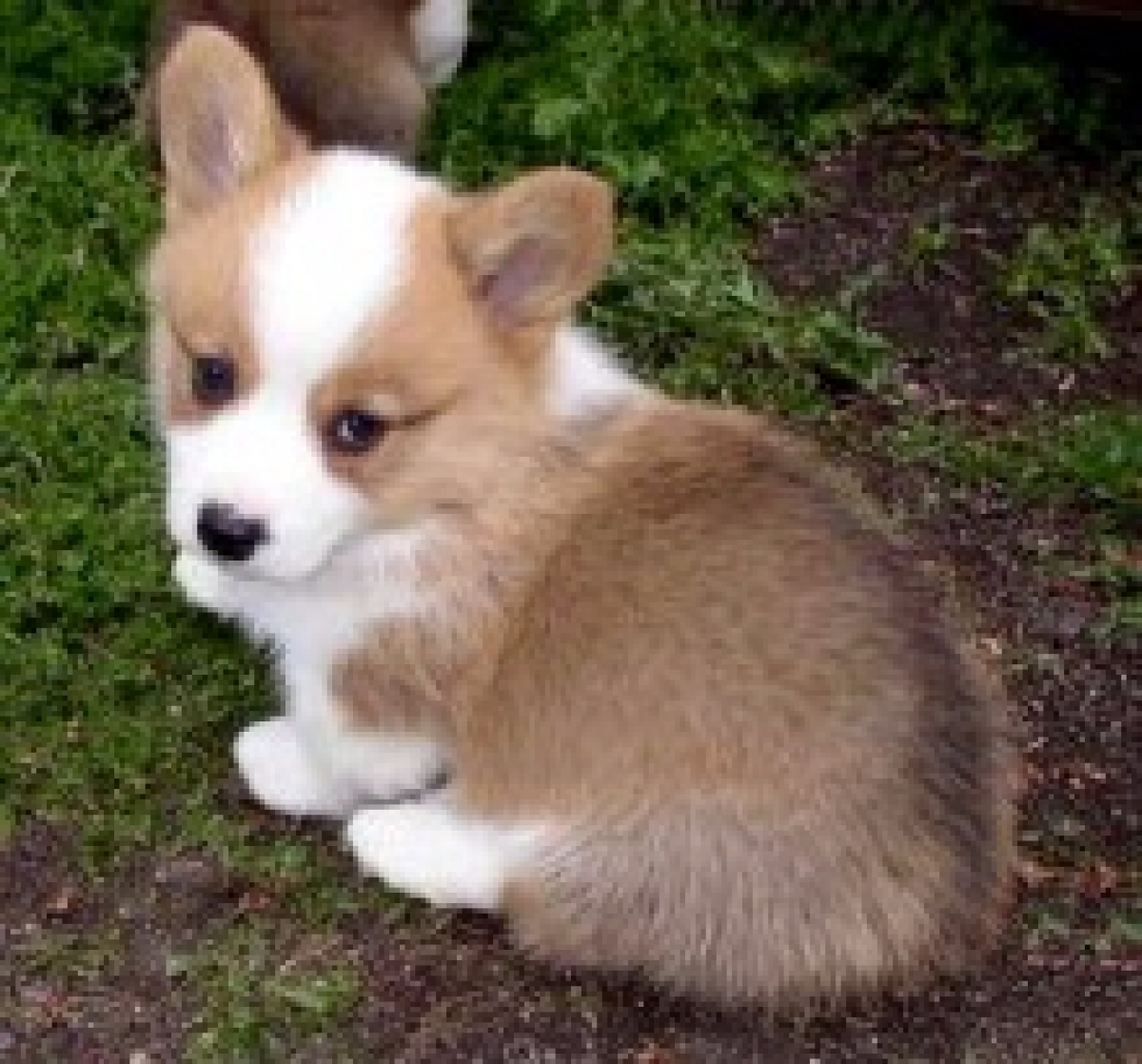 Smart Pembroke Welsh Corgi Puppies out for Sale - Dogs ...