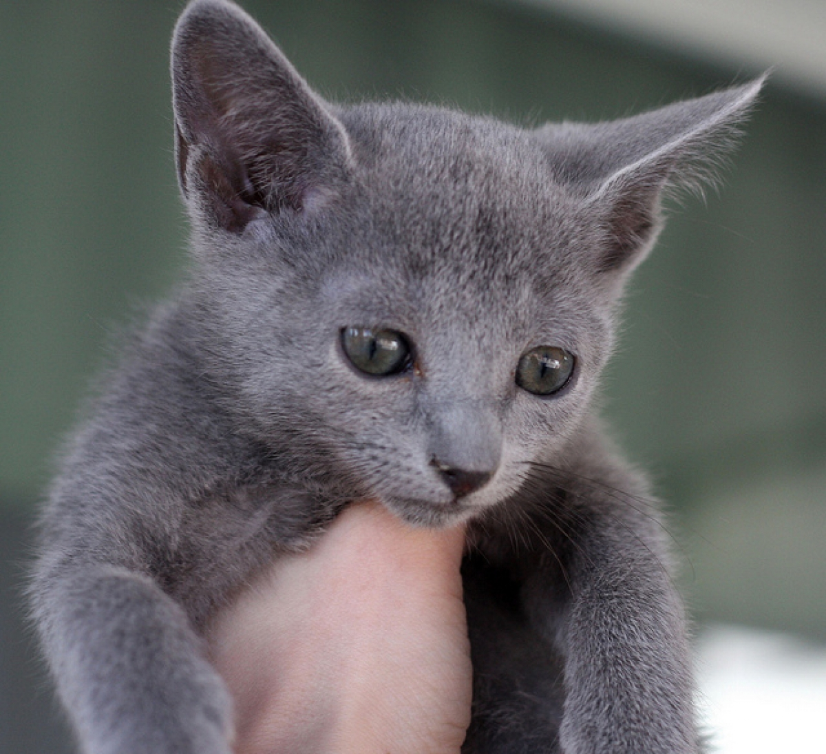 Charpy Russian Blue Kittens for sale - Cats & Kittens For Sale -
