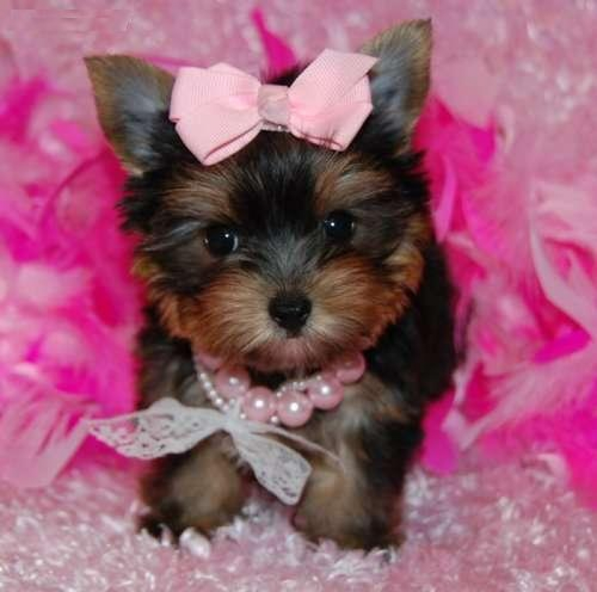 Pictures of Baby Teacup Yorkies For Adoption - #rock-cafe