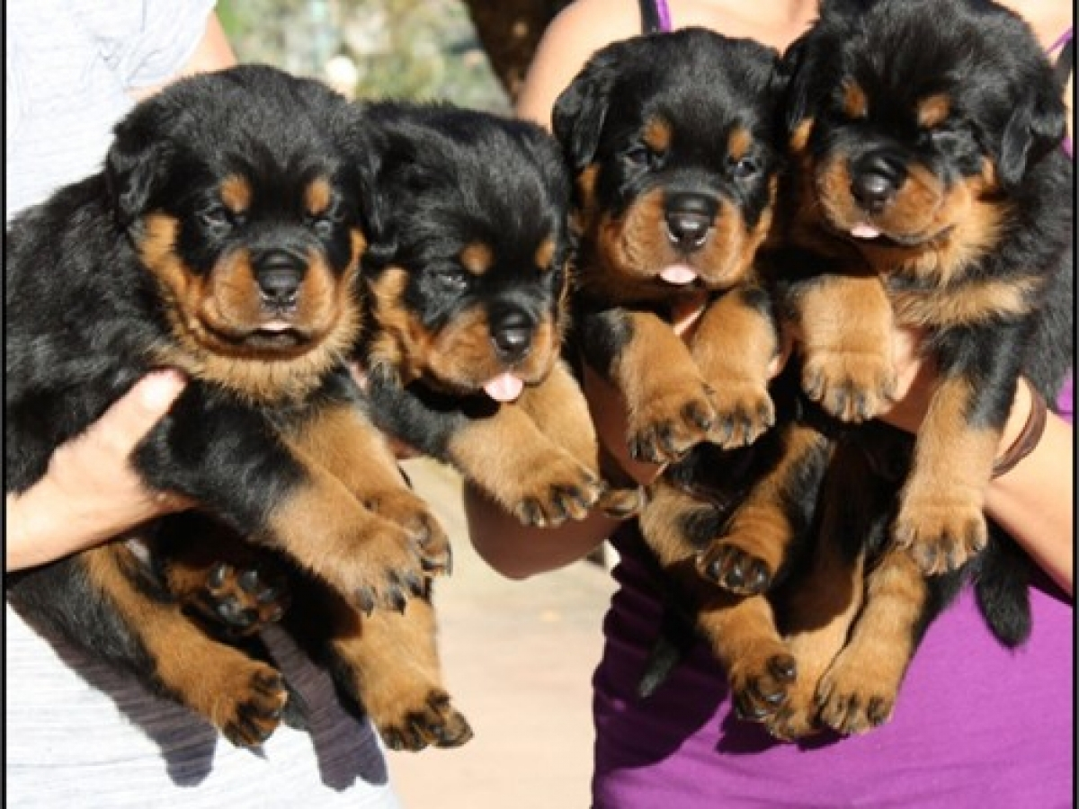 Akc Rottweiler Puppies Dogs Puppies Wisconsin Free Classified