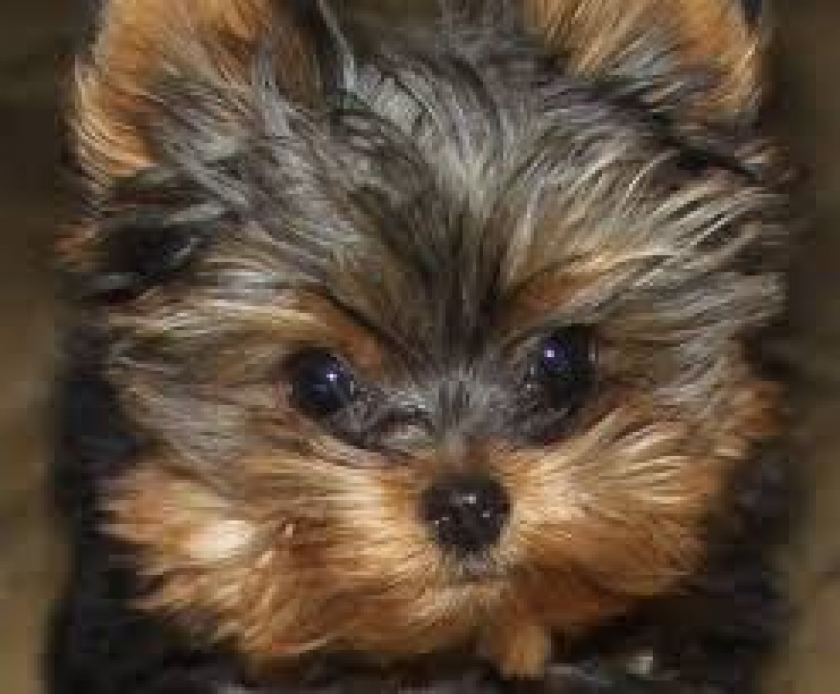 Registered Teacup Yorkshire Terrier Puppies Text 571) 529