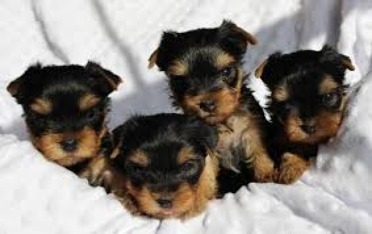 Teacup Yorkie Puppies For Adoption Dogs Puppies Michigan Free