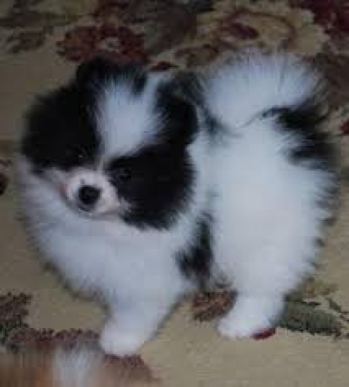 Teacup Dogs For Sale In Michigan