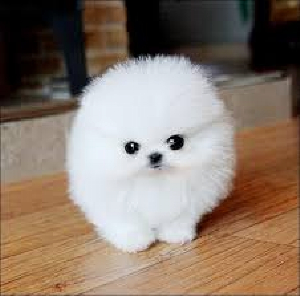 Teacup pomeranians for sale in texas