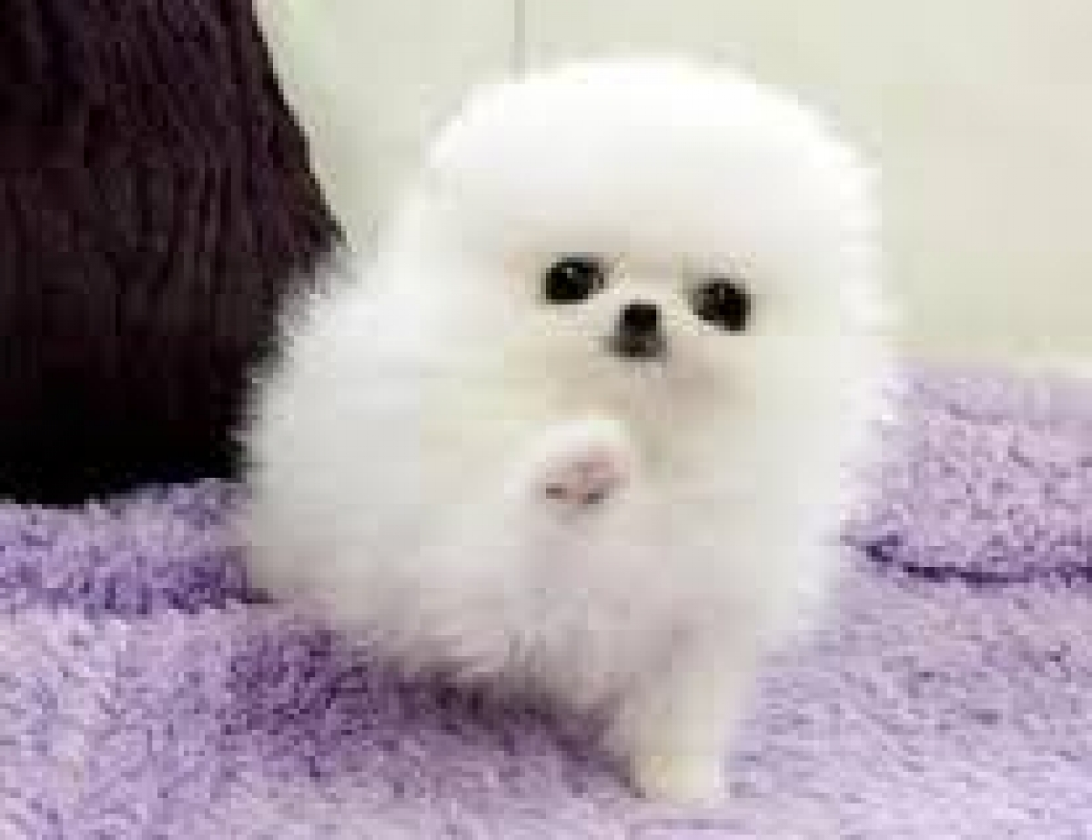 Cute pomeranian puppie...