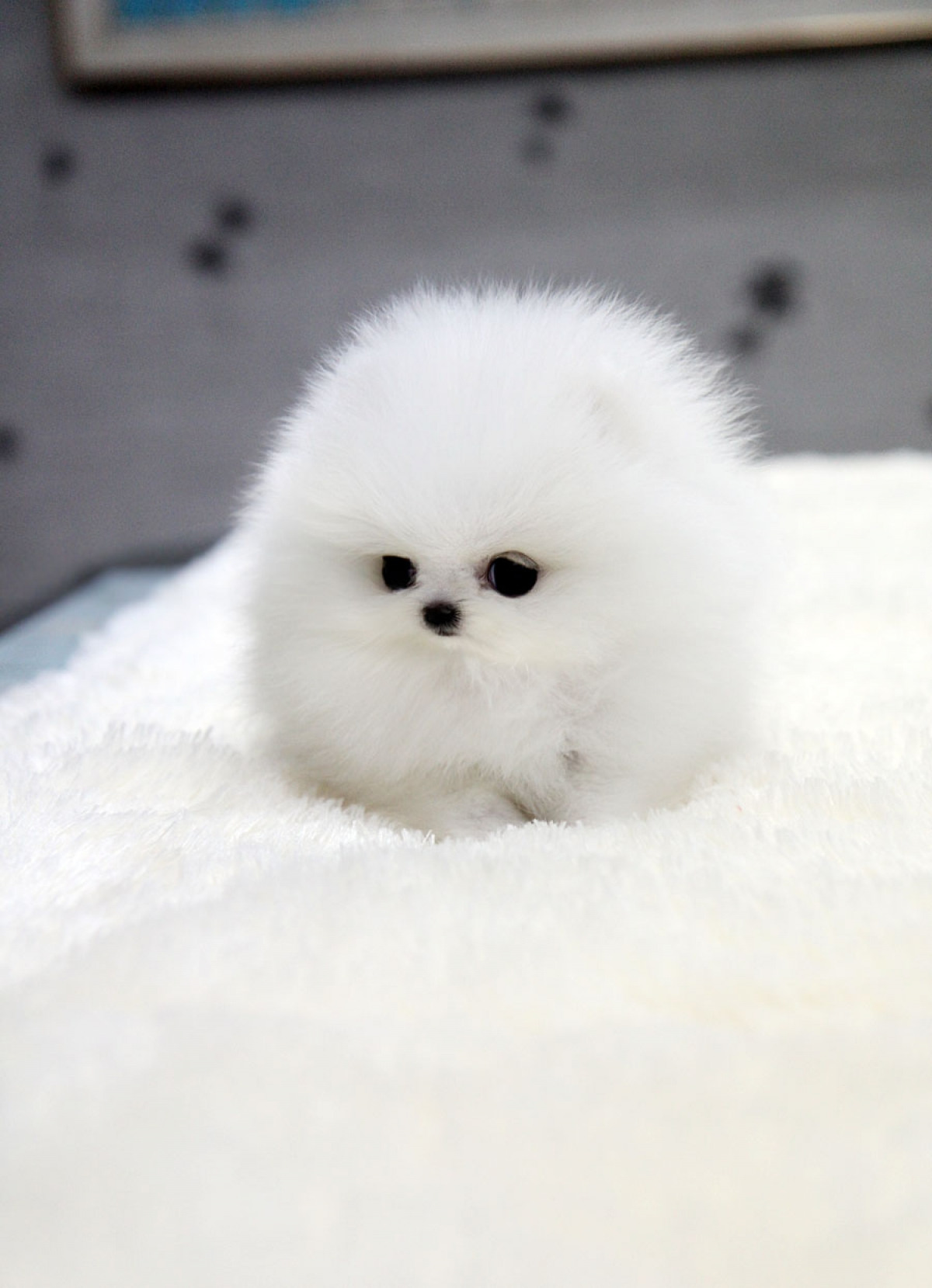 Pomeranian Puppies For Sale | Vancouver, WA #312033 |Pom Puppies
