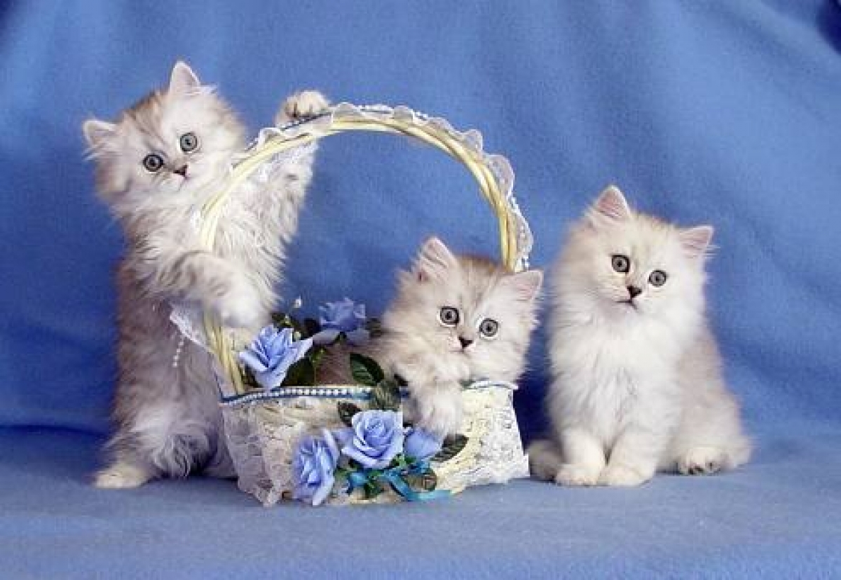 Tamed Teacup CFA Persian & Siamese Kittens For Sale.... - Cats &