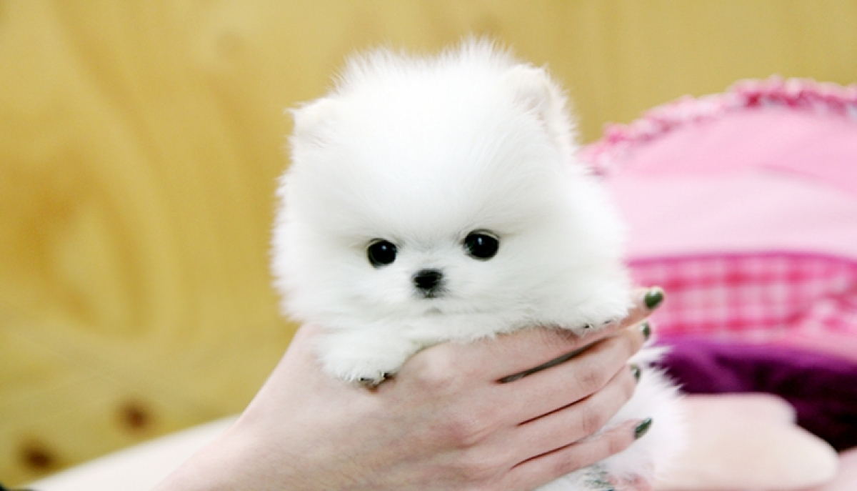 Male and Female Pomeranian Puppies For A Home - Dogs