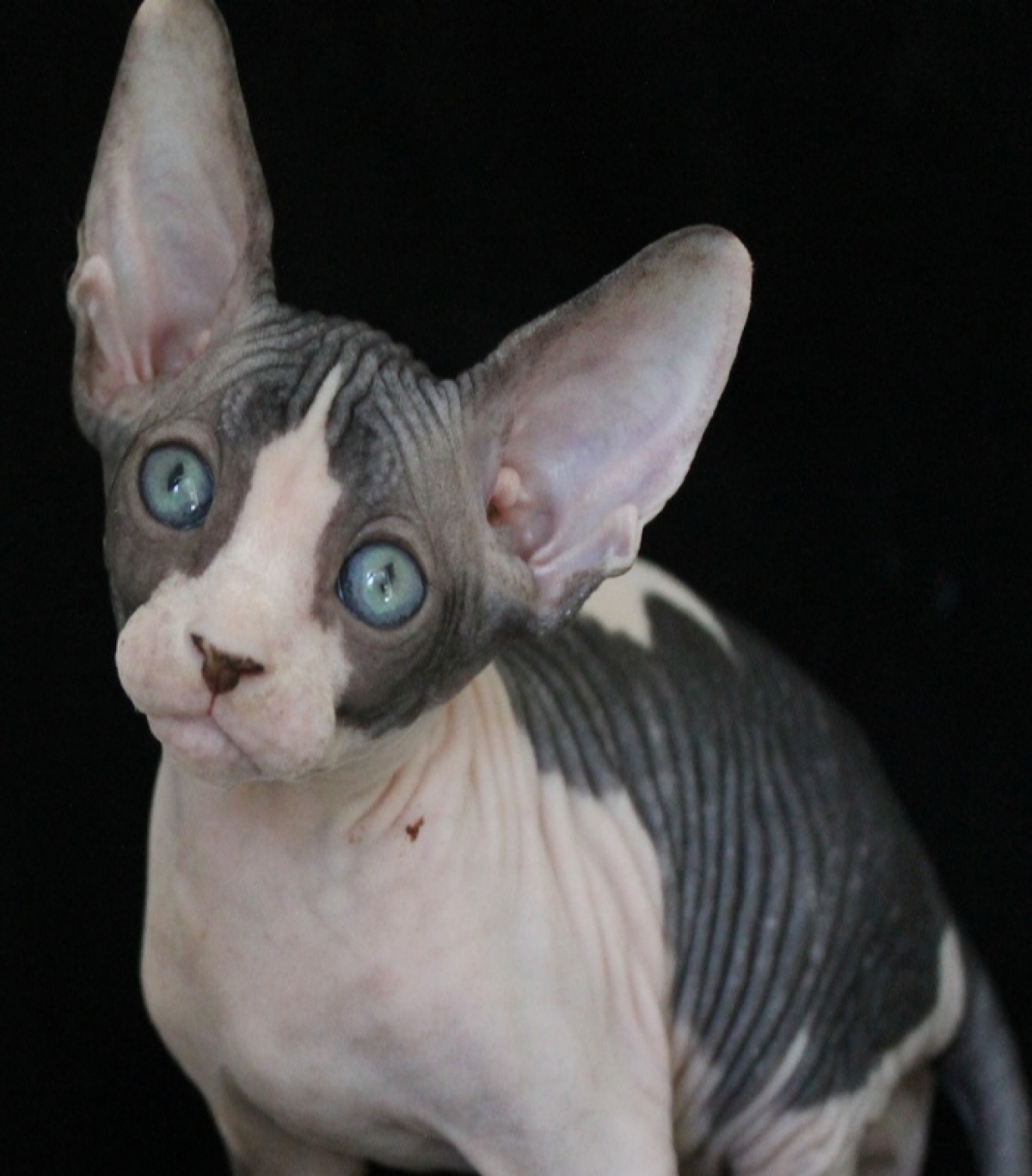sphynx kitten for adoption - Cats & Kittens For Sale