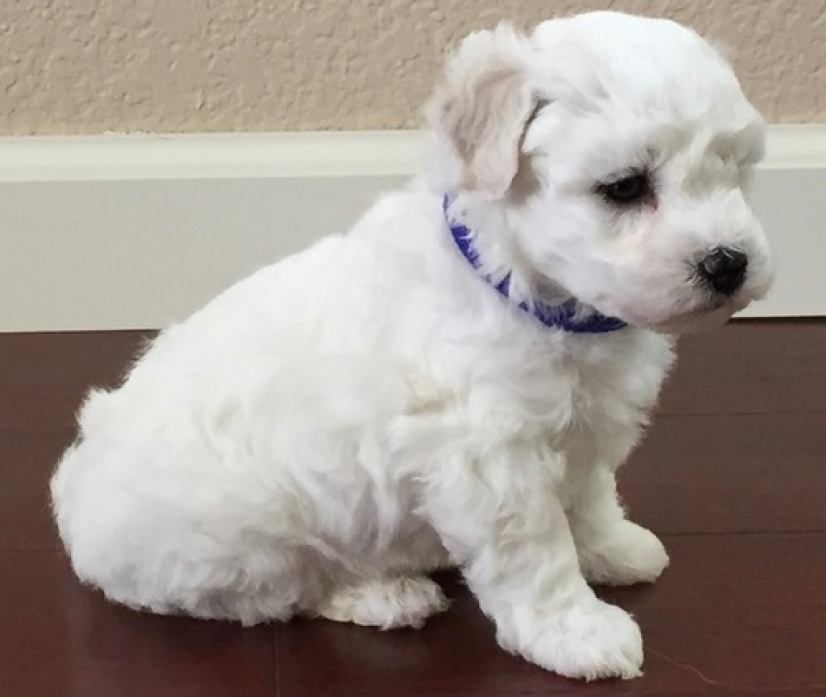 Bichon Frise puppies for sale - Dogs & Puppies - Florida - Free