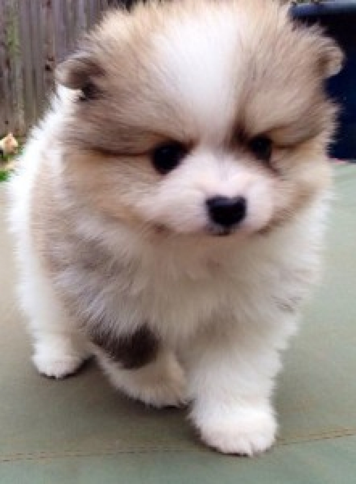 Teacup Pomeranian Puppies for sale - Dogs & Puppies ...