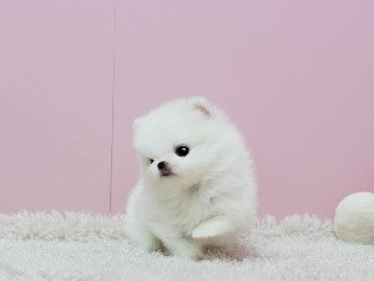 Pomeranian Puppies For Sale Dogs Puppies South Carolina Free