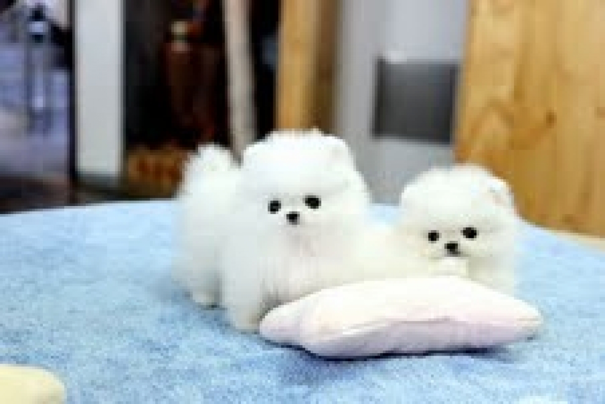 AKC Pomeranian Puppies for sale - Dogs & Puppies - Hawaii ...