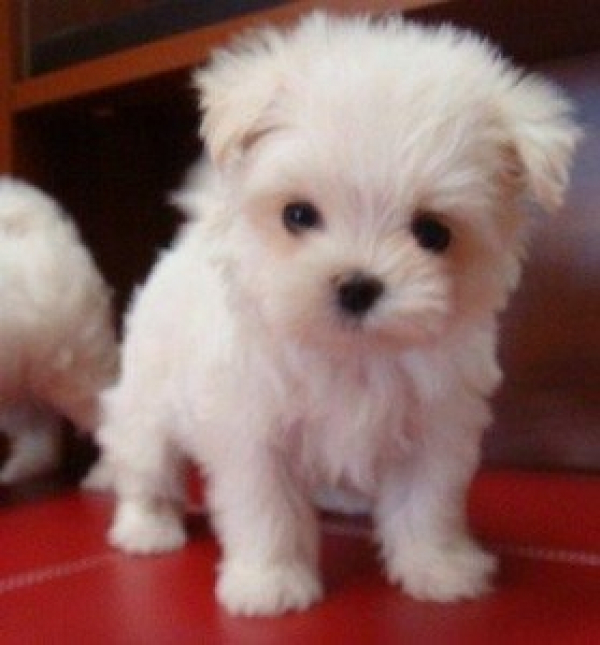 Maltese Puppies For Sale Dogs Puppies Indiana Free Classified