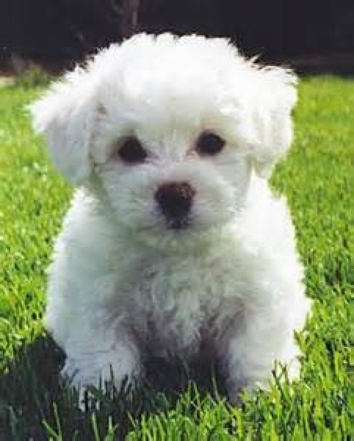 Bichon Frise puppies for sale - Dogs & Puppies - Colorado - Free