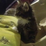 Cute and adorable male and female maine coon kittens