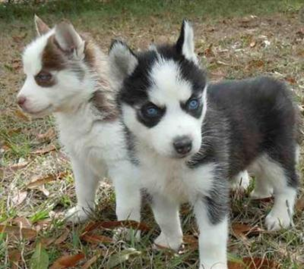 Beautiful Siberian Husky Puppies For Adoption Dogs Puppies South