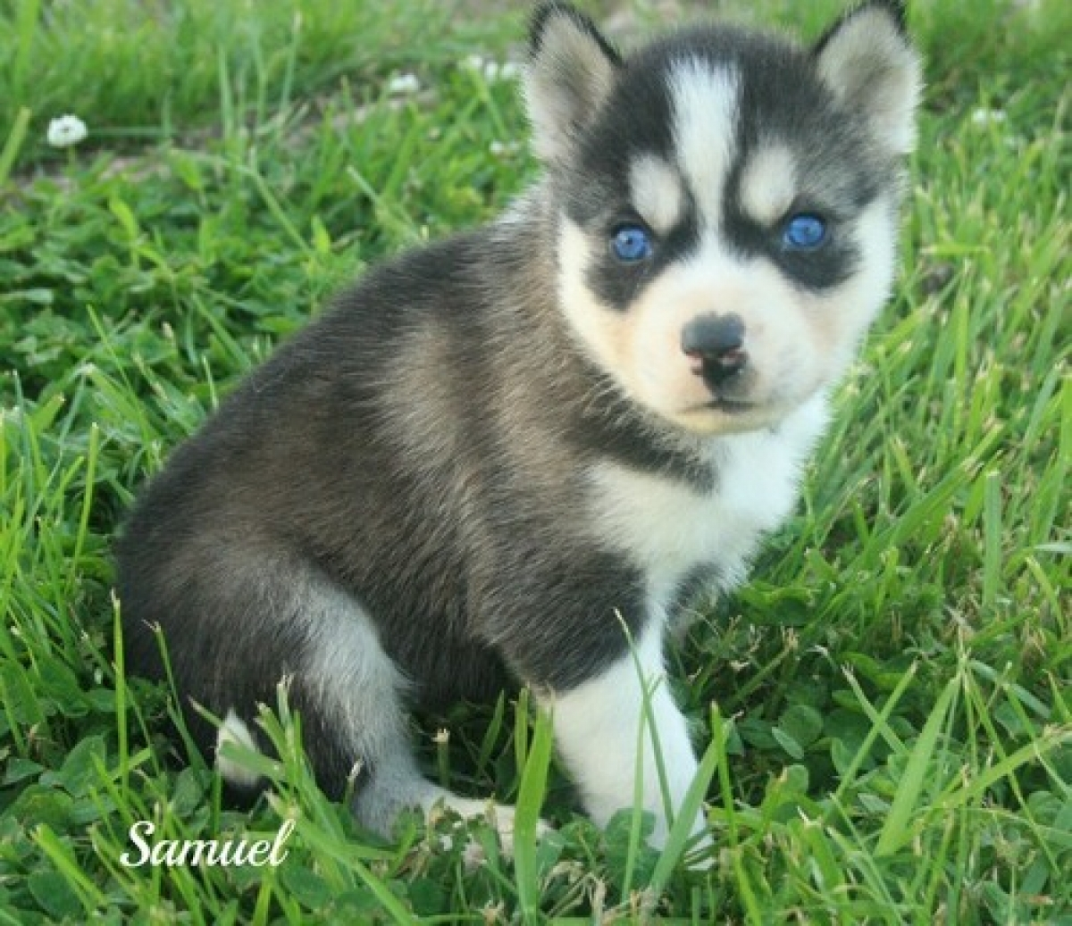 Husky puppies for adoption in california - Samuel 3 Months Old Male Husky Puppy For Adoption