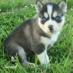 Samuel 3 months old male husky puppy for adoption
