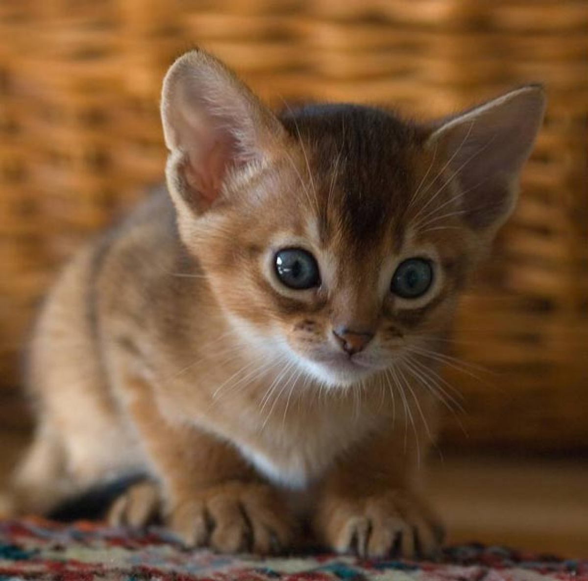 Blue Male Abyssinian Kitten - Cats & Kittens For Sale - New York -