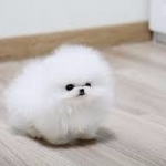 Ice White /Black Tea Cup Pomeranian Puppies Available (240) 347-0376