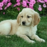 Health guarantee Golden Retriever puppies available now