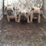 French bulldog puppies. Litter of six, five available. Raised in family home