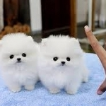 Beautiful Micro Pomeranian Pups Available Text (240) 347-0376