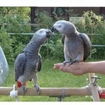 DNA Tested Adorable Congo African Grey Parrots.