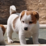 Lovely Jack Russell ready for a new home