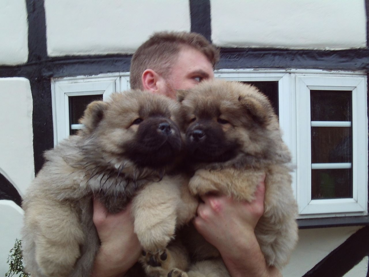 Dogs Chow Chow Puppies For Sale